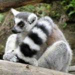 Lemur katta