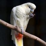 Kakadu filipińska